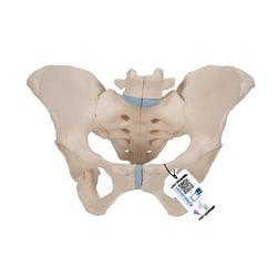 Becken-Skelett weiblich - 3B Smart Anatomy