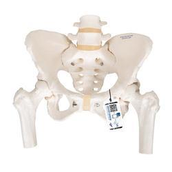 Becken-Skelett Modell weiblich mit Oberschenkelstümpfen