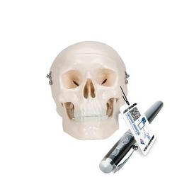 Anatomie Modell Menschlicher Schädel Mini 3-teilig