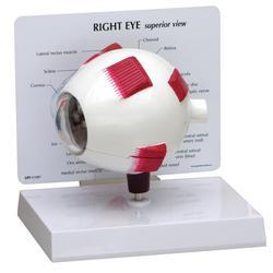 Auge Modell Komplett