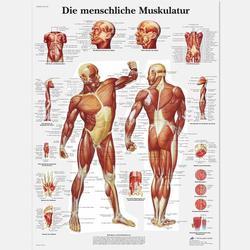 Lehrtafel - Die menschliche Muskulatur