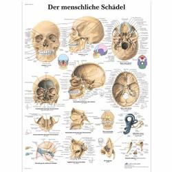 Lehrtafel - Der menschliche Schädel