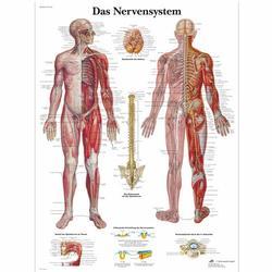 Lehrtafel - Das Nervensystem