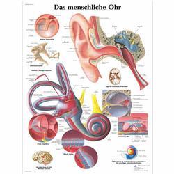 Lehrtafel - Das menschliche Ohr
