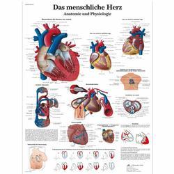 Lehrtafel - Das menschliche Herz - Anatomie und Physiologie