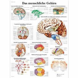 Lehrtafel - Das menschliche Gehirn