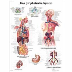 Lehrtafel - Das Lymphatische System
