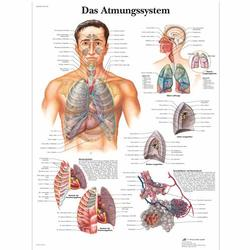 Lehrtafel - Das Atmungssystem