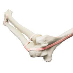 3B Scientific® ORTHObones Premium Ellenbogen mit elastischen Bändern
