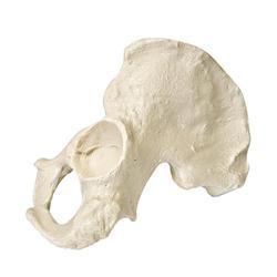 Beckenhälfte (Hemi Pelvis) männlich, links, ORTHObones